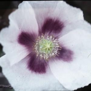 Photographie n°2132463 du taxon Papaver somniferum L. [1753]