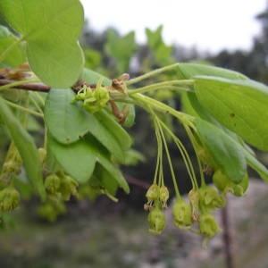 Photographie n°2132507 du taxon Acer monspessulanum L. [1753]
