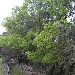 Photographie n°2132508 du taxon Acer monspessulanum L. [1753]