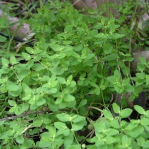 Photographie n°2132587 du taxon Euphorbia peplus L. [1753]