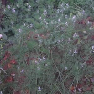 Photographie n°2132612 du taxon Fumaria parviflora Lam. [1788]