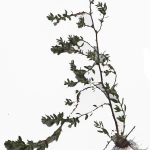 Photographie n°2133070 du taxon Polygonum maritimum L. [1753]