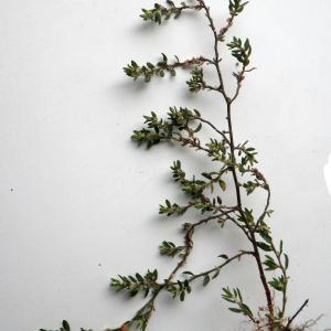 Photographie n°2133071 du taxon Polygonum maritimum L. [1753]