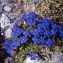 Liliane Roubaudi - Gentiana verna subsp. favratii (Rittener) P.Fourn. [1938]