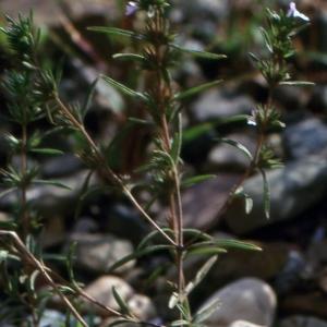 Photographie n°2133290 du taxon Satureja hortensis L.