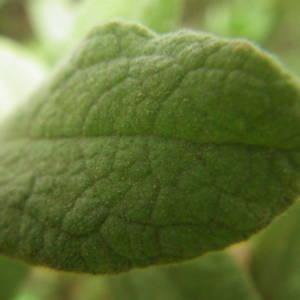 Photographie n°2133485 du taxon Cistus albidus L. [1753]