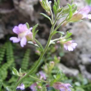 Photographie n°2133712 du taxon Chaenorhinum origanifolium (L.) Kostel. [1844]