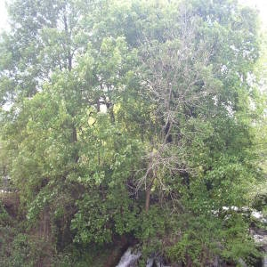 Photographie n°2133947 du taxon Acer pseudoplatanus L.