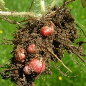 Photographie n°2134011 du taxon Saxifraga granulata L.