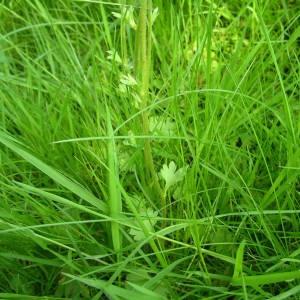 Photographie n°2134013 du taxon Saxifraga granulata L.