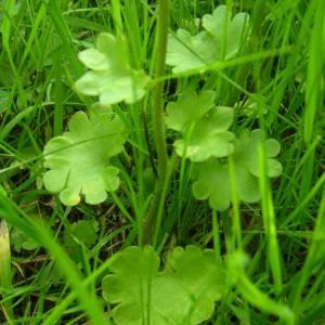 Photographie n°2134015 du taxon Saxifraga granulata L.