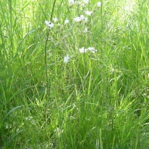 Photographie n°2134016 du taxon Saxifraga granulata L.