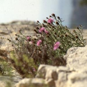 Photographie n°2134136 du taxon Centaurea corymbosa Pourr. [1788]