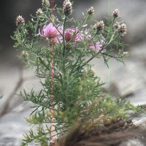 Photographie n°2134137 du taxon Centaurea corymbosa Pourr. [1788]