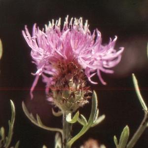 Photographie n°2134138 du taxon Centaurea corymbosa Pourr. [1788]