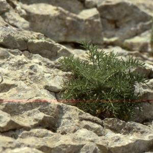 Photographie n°2134139 du taxon Centaurea corymbosa Pourr. [1788]