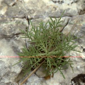 Photographie n°2134140 du taxon Centaurea corymbosa Pourr. [1788]