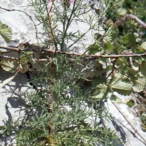 Photographie n°2134141 du taxon Centaurea corymbosa Pourr. [1788]