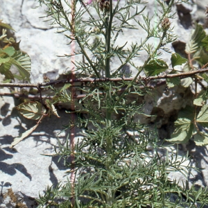 Photographie n°2134142 du taxon Centaurea corymbosa Pourr. [1788]