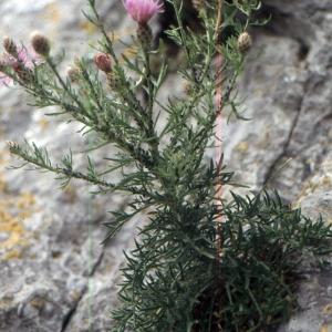 Photographie n°2134143 du taxon Centaurea corymbosa Pourr. [1788]