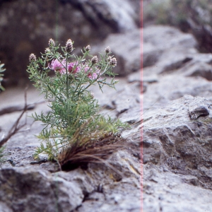 Photographie n°2134144 du taxon Centaurea corymbosa Pourr. [1788]