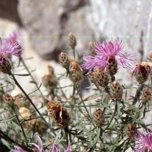 Photographie n°2134146 du taxon Centaurea corymbosa Pourr. [1788]