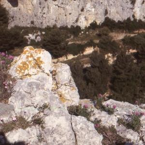Photographie n°2134149 du taxon Centaurea corymbosa Pourr. [1788]