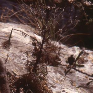 Photographie n°2134150 du taxon Centaurea corymbosa Pourr. [1788]