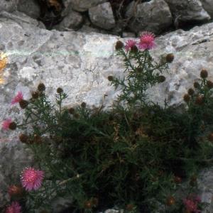 Photographie n°2134152 du taxon Centaurea corymbosa Pourr. [1788]