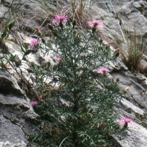Photographie n°2134153 du taxon Centaurea corymbosa Pourr. [1788]