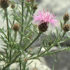 Photographie n°2134154 du taxon Centaurea corymbosa Pourr. [1788]
