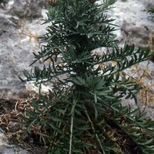 Photographie n°2134156 du taxon Centaurea corymbosa Pourr. [1788]
