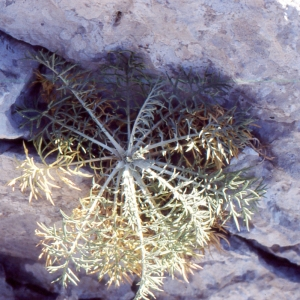 Photographie n°2134157 du taxon Centaurea corymbosa Pourr. [1788]