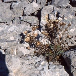 Photographie n°2134158 du taxon Centaurea corymbosa Pourr. [1788]