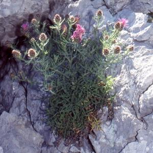 Photographie n°2134159 du taxon Centaurea corymbosa Pourr. [1788]