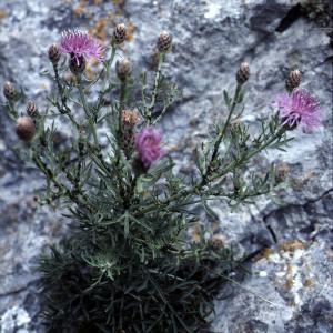 Photographie n°2134176 du taxon Centaurea corymbosa Pourr. [1788]