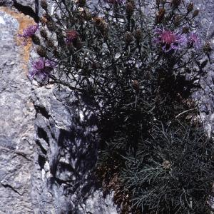 Photographie n°2134177 du taxon Centaurea corymbosa Pourr. [1788]