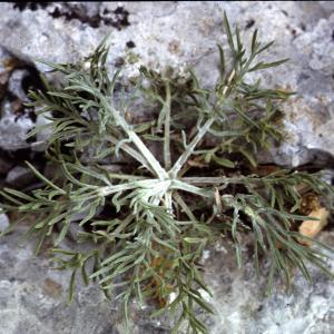 Photographie n°2134178 du taxon Centaurea corymbosa Pourr. [1788]