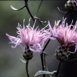 Photographie n°2134179 du taxon Centaurea corymbosa Pourr. [1788]