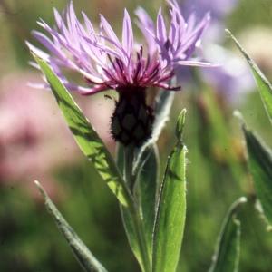 Photographie n°2134186 du taxon Centaurea paniculata L. [1753]