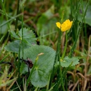 - Caltha palustris L. [1753]
