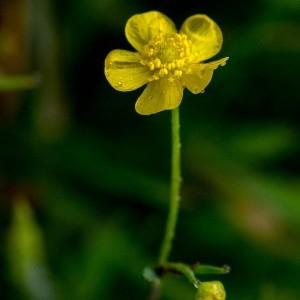 - Ranunculus flammula L. [1753]