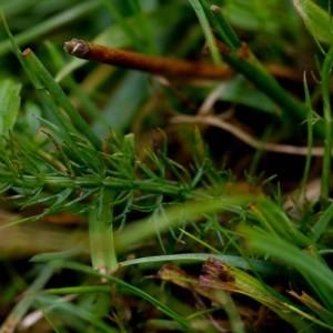 - Trocdaris verticillatum (L.) Raf. [1840]