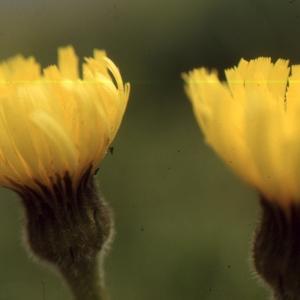 Hypochaeris uniflora Vill. (Grande Porcelle)