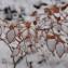 Fagus sylvatica L. [1753] [nn75130] par Michel Pansiot le 28/12/2017 - Roybon