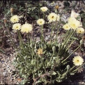 Photographie n°2134645 du taxon Urospermum dalechampii (L.) Scop. ex F.W.Schmidt [1795]