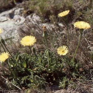 Photographie n°2134647 du taxon Urospermum dalechampii (L.) Scop. ex F.W.Schmidt [1795]