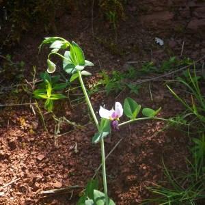 Photographie n°2134672 du taxon Lathyrus oleraceus subsp. biflorus (Raf.) H.Schaef.