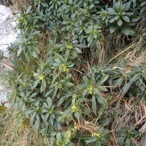 Photographie n°2134760 du taxon Daphne laureola L. [1753]