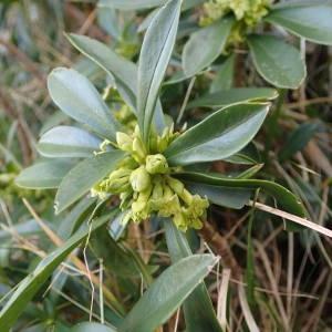 Photographie n°2134761 du taxon Daphne laureola L. [1753]